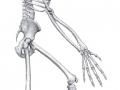 Ardipithecus ramidus (Ardi), rekonstruktion af skelettet